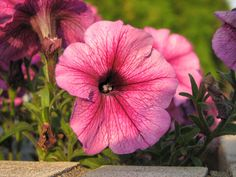 Annual petunias are prolific blooming flowers, easily grown in most home gardens and flowerbeds. Petunias are also grown successfully in pots, window boxes, hanging baskets, barrels and many other flower planters. Petunias, Flower Beds, My Flower, Petunia Hanging Baskets, Peach Pit, Peach Trees, Different Plants, Flower Planters, Plantation