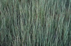 Schizachyrium 'The Blues', common name: Little Bluestem. Full sun, U. Tolerant of summer heat and humidity. Blue foliage in spring transitions to burgundy-red in fall. Common Names, Ornamental Grasses, Summer Heat, Four Seasons, More Photos, Blues, Salt, Burgundy, Herbs
