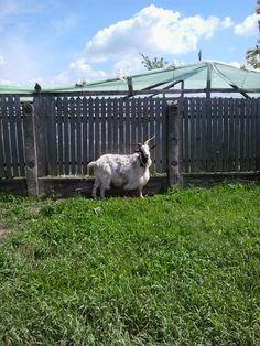 He-goat