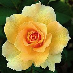 Yellow rose:) my fave:)