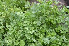 Healing Herb for Dogs: Parsley. Parsley prevents disease by maintaining proper pH levels. Parsley is mineral rich and also aids digestion. It nourishes the kidneys and bladder and even freshens the breath! Roses And Violets, Parsley Potatoes, Florida Gardening, Dieta Detox, Simple Minds, Herb Seeds, Middle Eastern Recipes, Healing Herbs, Growing Herbs