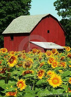 midwestern sunflower farm in the late summer
