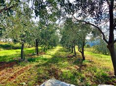 TERRA ROSSA Extra Virgin Olive Oil from organic farming. Family owned, family farmed and deeply rooted in traditional practices by the Bellani Family, Istria, Croatia Istria Croatia, Organic Farming, Olive Oil, Roots, Country Roads, Traditional, Organic Gardening