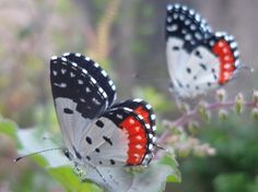 Red Pierrot - Talicada nyseus - Found in South Asia and Southeast Asia, this small, striking butterfly is of the family Lycaenidae