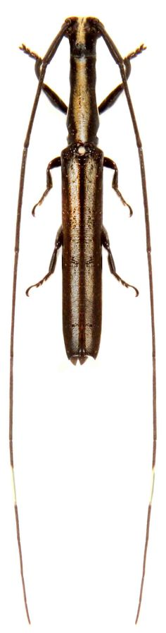 Anauxesis calabarica