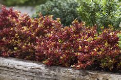 Coprosma 'Ignite' • Mixed garden beds • Informal borders • Large containers • Dazzling colour for interest Hedging Plants, Foliage Plants, Shrubs, Border Plants, Red Leaves, Heuchera, Fiery Red, Plant Nursery, Winter Night