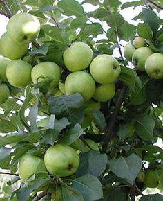 Omenapuu Valkeakuulas - Viherpeukalot