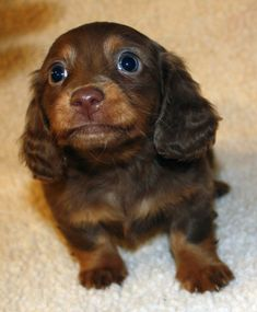 Miniature Dachshund Puppies | Miniature Dachshund Puppies, Weatherly's Dachshunds AKC Longhair ... #Dachshund
