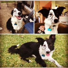 Olive is an adopted border collie. She just turned one a few weeks ago. Picture courtesy of Amy Griffin #bordercollie #bordercolliefc #rescuedbordercollie