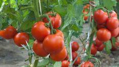 rajcata-pestovani Growing Tomatoes Indoors, Growing Tomatoes From Seed, Growing Tomato Plants, Growing Tomatoes In Containers, Grow Tomatoes, How To Plant Tomatoes, Freezing Tomatoes, Growing Peas, Marinated Tomatoes