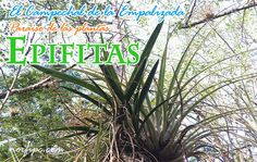 El Campechal de la Empalizada, paraíso de plantas epifitas en Cuba