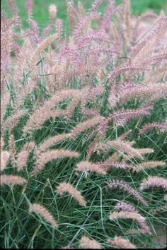 Pennisetum orientale 'Karley Rose'/Oriental Fountain Grass. Zone 5. 3-4 ft tall x 2-3 ft wide. Blooms late summer to early fall.