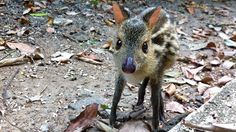 "10 ""Living Fossils"" that You Probably Didn't Know Existed :  little chevrotain"