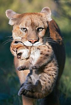 Funny Wildlife • Mountain Lion mother carrying cub in her mouth by...