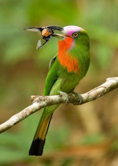 จาบคาเคราแดง Red-bearded Bee-eater (male) - Nyctyornis amictus | by Michael Gillam