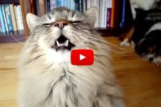 Maine Coon Cat Tries To Cheer Up His Human - Love Meow