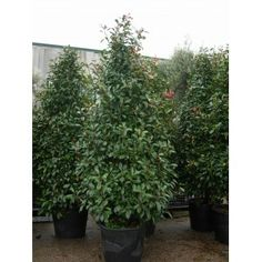 "Cone - Photinia  Serrulata ""Red Robin"" Specimen"
