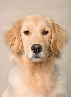 Golden Kailey : A simple golden portrait Kailey, Golden Retriever, 9 months Chien Golden Retriever, Golden Retrievers, Cute Puppies, Cute Dogs, Dogs And Puppies, Doggies, Chihuahua Dogs, Beautiful Dogs, Animals Beautiful