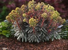 ERICA ENTERPRISES - Euphorbia