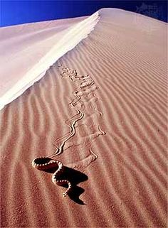 Sidewinder ~ Every part of the sidewinder, or Peringuey's adder, is camouflaged — even its eyeballs, which poke up above the sand while the rest of its body lays hidden, waiting for prey.