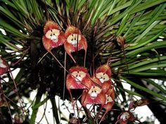 Orquídea Cara de Mono (Dracula Simia)