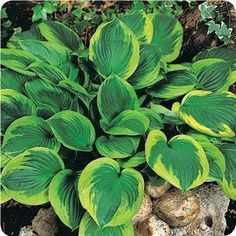 Twilight Hosta is a sport of 'f. Aureomarginata' with larger leaves and better slug resistance. This hosta plant produces shiny dark green leaves with wide gold margins that turn creamy white as the season progresses. Lavender flowers bloom in mid summer.  30 inches wide, 22 inches tall