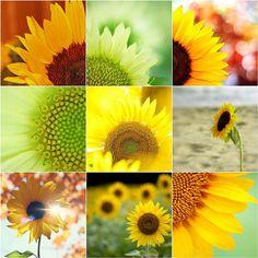 Things I ♥ Thursdays: Sunflowers to say thanks... by Fabiana Gauto Photography, via Flickr