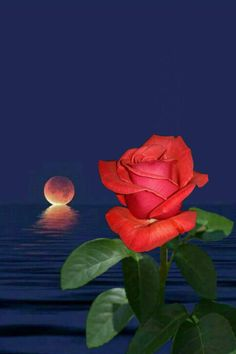 By Artist Unknown. Special Flowers, Flowers For You, Beautiful Moon, Beautiful Roses, Night Whispers, Moon Images, Rose Art, Love Rose, Sunset Photos