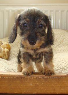 Wirehaired Dachshund puppy #Dachshund