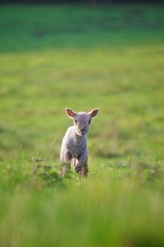 **The lone lamb.