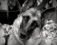 German Shepherd 8x10 Photograph Dog,black and white,tan,canine,eyes | VanillaExtinction - Photography on ArtFire GSD