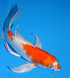 White butterfly koi wanted name will be obake for Koi fish names