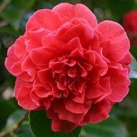 Camellia Japonica Apple Blossom (belgium 1915) | Signora Camelia ... Probleme Mit Den Pflanzen