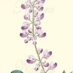 vintage lupine flower illustration