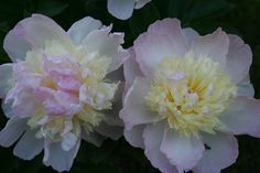 Peonies - Great Plants for Northern Gardens