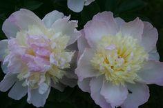 Peonies - Great Plants for Northern Gardens — Dan330