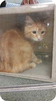 Philadelphia, PA - Domestic Mediumhair. Meet Peaches, a cat for adoption. http://www.adoptapet.com/pet/18091200-philadelphia-pennsylvania-cat