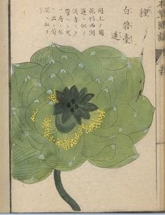 "lunar-danse: "" These images come from ten albums of flora containing more than 700 images from the Museum at the University of Tokyo: honzo database (english home page). Japanese Art Modern, Japanese Prints, Plant Illustration, Botanical Illustration, Artist Sketchbook, Art Japonais, Japanese Flowers, Chinese Art, Chinese Painting"