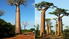 Avenue of Baobabs Wallpaper HD