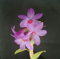 Dendrobium sulawesiense is glomeratum