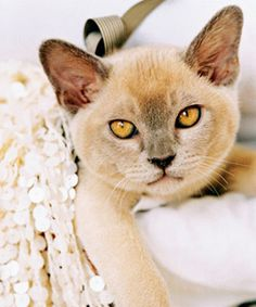 Platinum Burmese wow this has to be one of the most beautiful cats I've ever seen