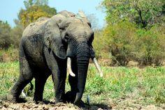 Day 196: West African Elephant, Mole National Park walking safari (Ghana)