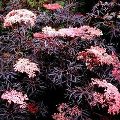 Rode Vlier 'Black Lace' (Sambucus nigra 'Black Lace') | MijnTuin.org