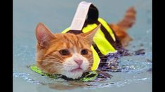 Who says cats hate the water? This is the top 6 list of swimming cats from The Catnip Mafia Thank you for watching! Make sure to watch our other videos! Silly Dogs, Funny Cats And Dogs, Funny Animal Videos, Funny Animals, Funny Cats In Water, Exotic Shorthair, Healthy Pets, Cat Behavior, My Animal