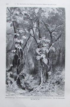 1896 AUFNAHME NAHRUNG SCHMAROTZERPFLANZEN alter Druck antique Print Litho