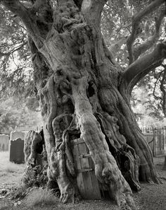 Amongst tombstones in a churchyard in Crowhurst, England,  stands a medieval ancient yew, estimated to be over 1,500 years old.