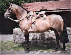Chilean Horse Purebred, caballo chileno de pura raza since 1893 Rodeo, Horse Harness, Draft Horses, Saddles, Beautiful Horses, South America, Equestrian, Pony, Horse Stuff