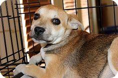 5/14/16 Philadelphia, PA - German Shepherd Dog Mix. Meet Cheerio, a puppy for adoption. http://www.adoptapet.com/pet/15531804-philadelphia-pennsylvania-german-shepherd-dog-mix