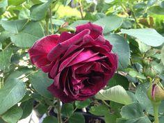 Rosa Munstead Wood | www.filroses.com