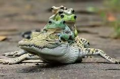 Photo by Tanto Yensen/Media Drum World Photo Agency A group of frogs hitched a lift on a passing crocodile. The multi-coloured group of five amphibians appeared… Animals And Pets, Baby Animals, Funny Animals, Cute Animals, Frog Pictures, Funny Animal Pictures, Hilarious Pictures, Amazing Pictures, Krokodil Tattoo
